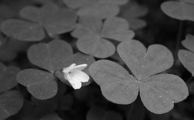 flower in sea of clover
