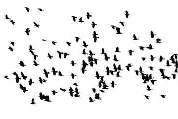 flock of birds black crows flying on the white background isolated sky
