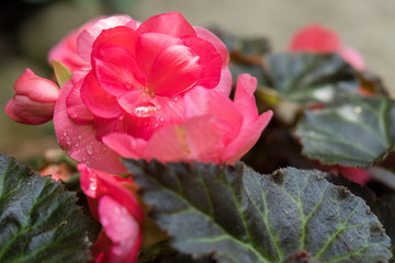 Begonia flower with a water droplet
