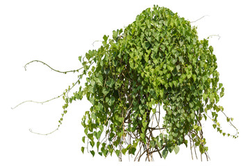 Plants ivy,  Climbing wild hanging branches of jungle vines isolated on white background, clipping path.