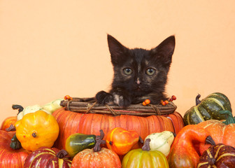 One tortie tabby kitten in a pumpkin shaped basket looking directly at viewer surrounded by miniature pumpkins, squash and gourds, orange table and background. Autumn harvest Thanksgiving.
