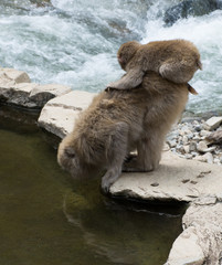 Baby snow monkey or Japanese macaque sitting on its mother's back as mom drinks from a hot spring pool.