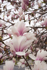 Magnolia blossoms with fuchsia, pink and light pink. The tree is loaded with blossoms.