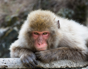 Old man snow monkey or Japanese macaque on a rock slab staring at the camera.