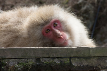 Reclining Snow Monkey Facing Camera. He is resting on a wood plank, looking into the camera.