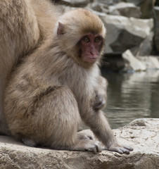 Seated baby snow monkey or Japanese macaque sitting next to its mom on a rock slab at the edge of a hot spring pool in Japan.