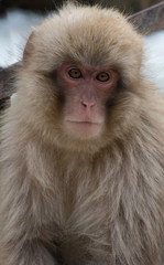 Snow monkey or Japanese macaque with its pink face looking at the camera. Shallow depth of field.