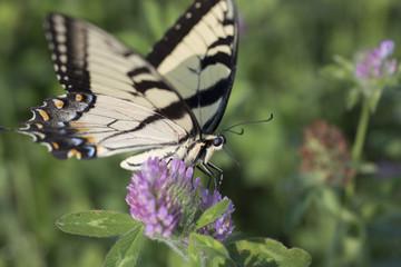 Butterfly on wildflower in field on Indiana farm