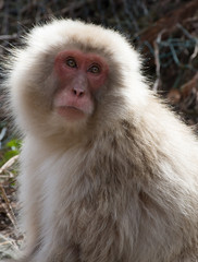 Snow monkey or Japanese macaque with its red face looking up and to its left. The monkey is sunlit.