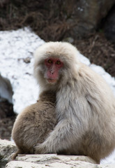 Snow Monkey Mother and Baby cuddling on a rock ledge. Snow is behind these Japanese macaques.