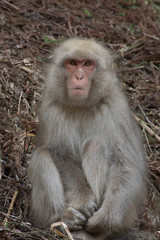 Snow monkey or Japanese macaque sitting on hillside facing the camera.