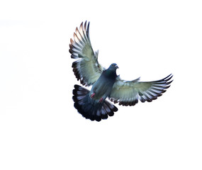 full body of homing pigeon bird hovering isolated white background