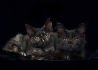 Portrait of a Black and chocolate brown long haired tabby kitten with tortie kitten laying on black velvet blanket looking directly at viewer. Copy space.