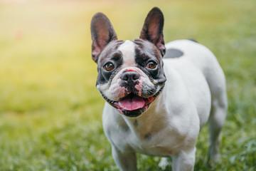 Dog French Bulldog