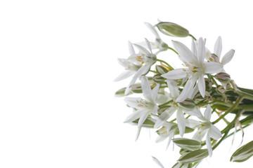 Ornithogalum umbellatum .Beautiful white flowers.