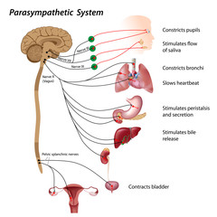Parasympathetic pathway of the ANS