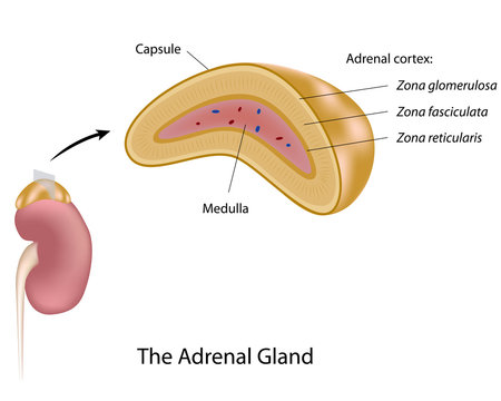 The adrenal gland, labeled.