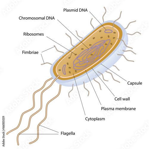 "structure of a bacterial cell, labeled. "" stock photo and royalty"
