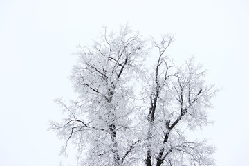 Oak covered with hoarfrost on a white sky background in winter in the park. White on white.
