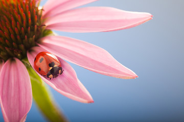 red ladybug on Echinacea flower, ladybird creeps on stem of plant in spring in garden in summer