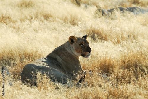 Lions in the savannah, Etosha National Park, Namibia
