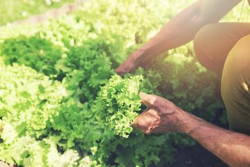 man picking fresh lettuce from garden bed