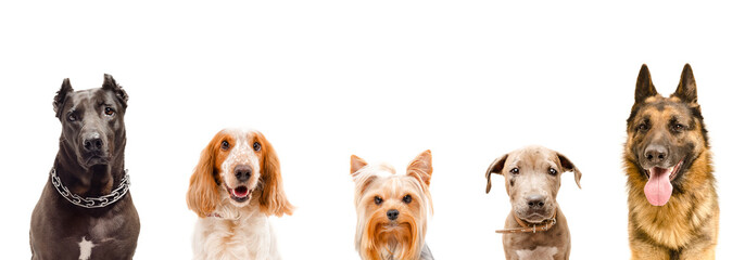 Portrait of five dogs, closeup, isolated on white background