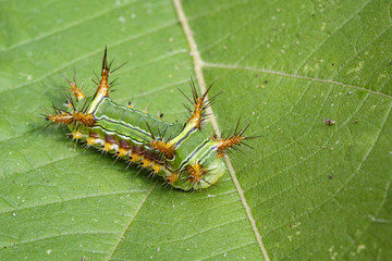 "Image of Stinging Nettle Slug Caterpillar (Cup Moth, Limacodidae) ""Green Marauder"" on green leaves. Insect Animal."