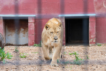 Shadows of the bars of a lions den at the zoo create an interesting effect in this photograph