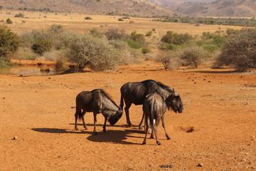 Blue Wildebeests