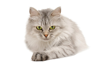 Calm grey long hair cat
