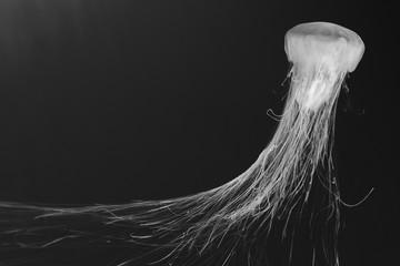 jellyfish (Chrysaora fuscescens) Wall mural