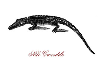 Engraving portrait of Nile crocodile, the largest freshwater predator of Africa, very aggressive and social with a hierarchy determined by size.