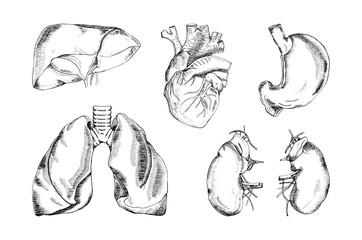 Set of the human organs, vector illustration