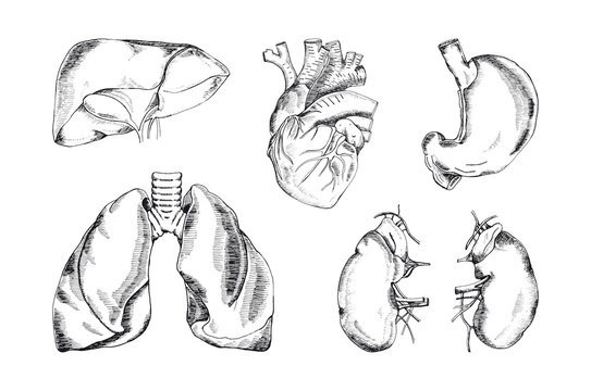 Set of the human organs, vector illustration
