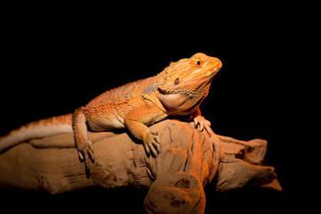 Fancy Bearded Dragon Poses on Drift Wood