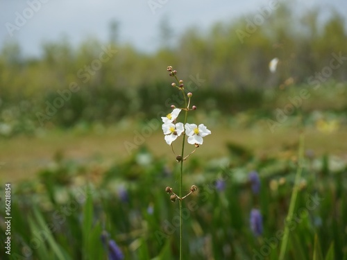 white swamp flowers in the marsh