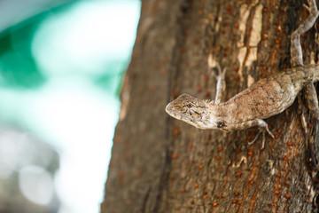 Chameleon ( Lizards ) on the tree.