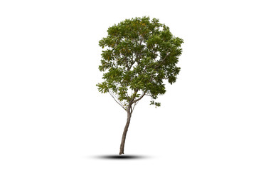 beautiful incline isolate tree on white background