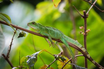 green water dragon