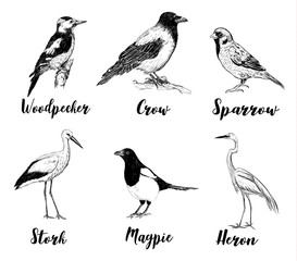 Birds set sketch. Collection of birds. A heron, a sparrow, a stork, a crow, a magpie, a woodpecker. Hand drawing vector illustration for design.
