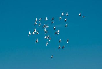 Schwarm Tauben Fliegt über den Himmel