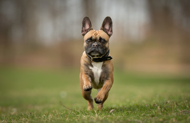 Fotobehang Franse bulldog French bulldog