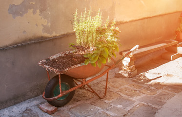 An old rusty wheelbarrow, fitted for planting flowers. Homemade decorative flowerbed on a Sunny day.