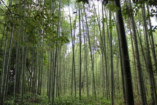 forêt de bambou, japon, bambouseraie