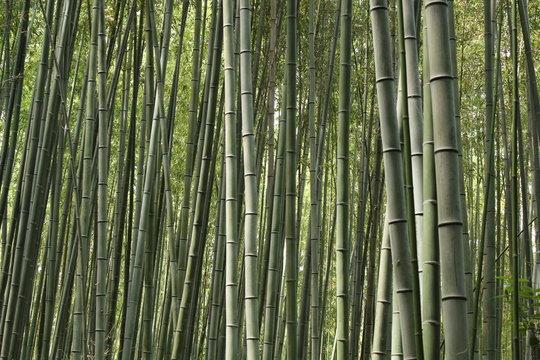 foret de bambou, bambouseraie, japon, arashiyama
