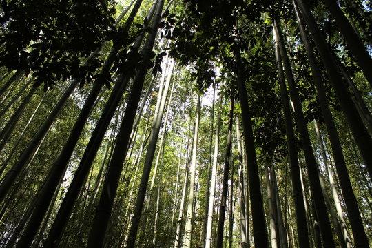 foret de bambou au japon, bambouseraie