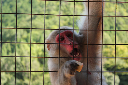 monkey behind a cage in japan