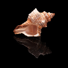 Seashell on a black background isolated