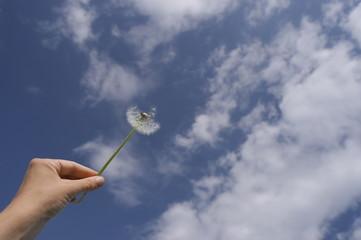 одуванчик в руке на фоне голубого неба и облаков
